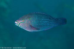 BD-121128-Aqaba-7600-Scarus-ghobban.-Forsskål.-1775-[Blue-barred-parrotfish].jpg